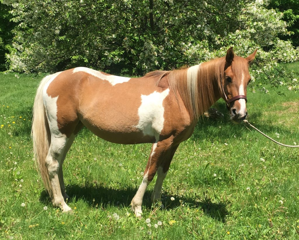 horse available for donation