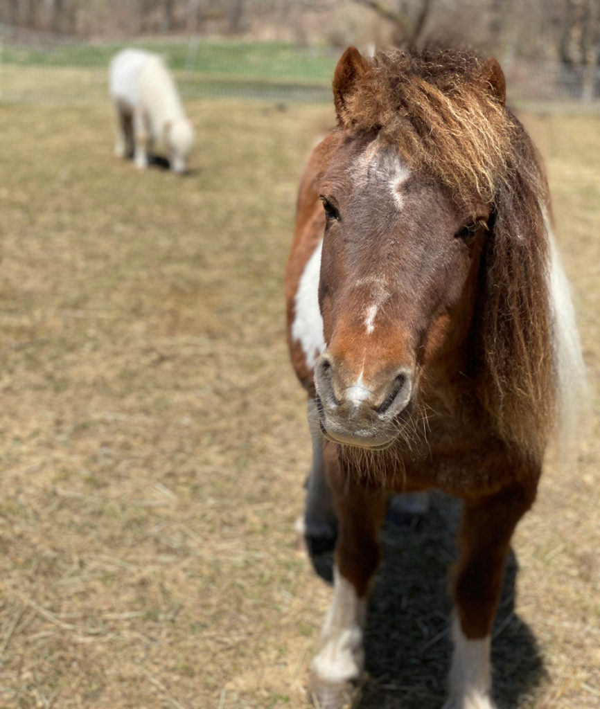 rescued mini horse