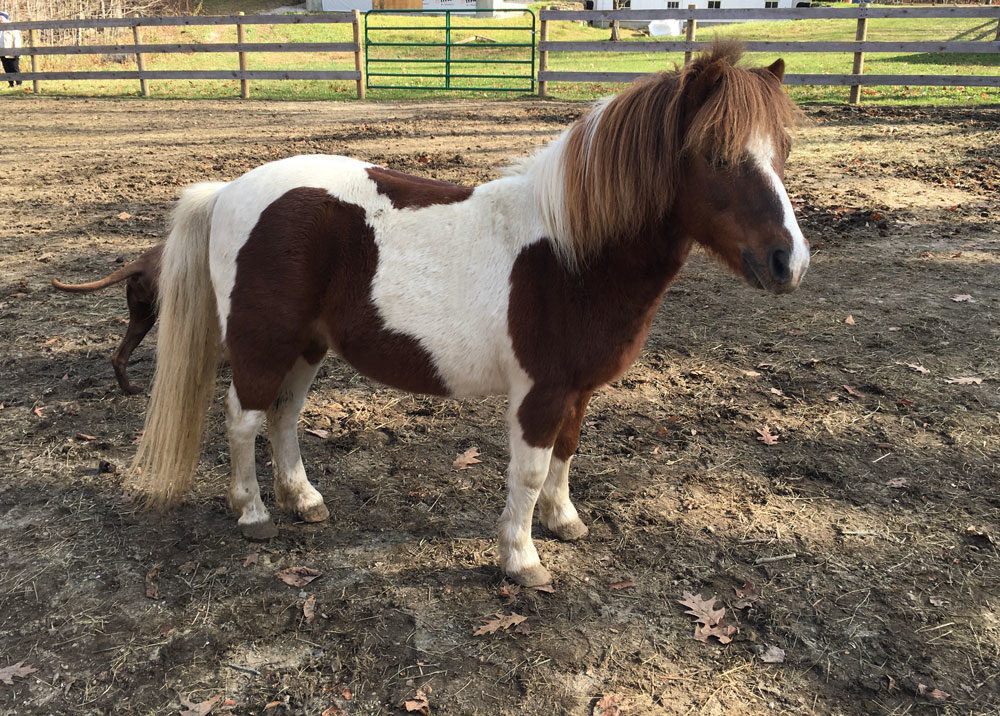 mini horse available for adoption