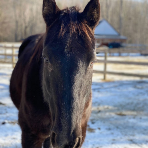 guinness horse available for adoption