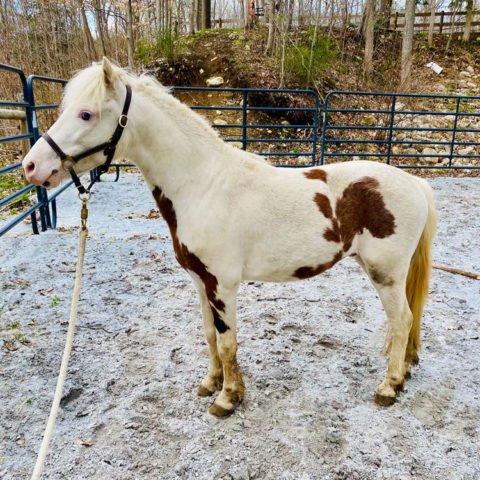 Miniature horse available for adoption
