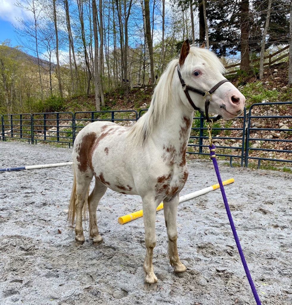 Mini horse available for adoption